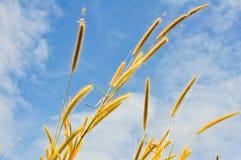 Grass flower. The flower of grass and blue sky ,closeup Royalty Free Stock Photos