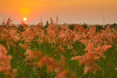 Grass Flower And Sunset Royalty Free Stock Photography