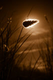 Grass flower backlit sunset on brown sky background Royalty Free Stock Photo