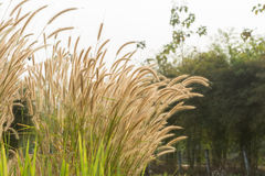 Grass flower. Beautiful grass flower poaceae with sunlight, Naturally beautiful flowers in the garden Stock Photography