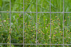 Grass flower behind the wire cage Stock Image