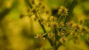 Grass flower  blooming spring nature wallpaper  background. Vintage filter effect royalty free stock image