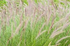 Grass flower Stock Photos