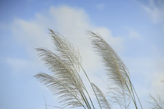 Grass flower   on blue sky Royalty Free Stock Photo
