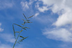 Grass flower. With blue sky background Stock Photography