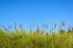 Grass flower with blue sky Royalty Free Stock Photography