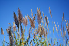 Grass flower and blue sky background. Stock Photography