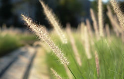 Grass flower closeup stock photos
