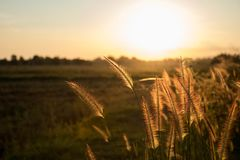 Grass flower in the evening stock photography
