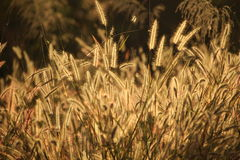 Grass flower. Feather or Mission grass in a field Stock Photography