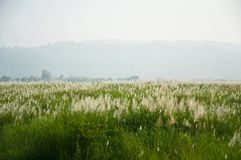 Grass flower field Royalty Free Stock Images
