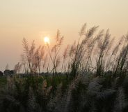Grass flower field on sunset Royalty Free Stock Images