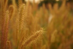 grass flower field on sunset soft blur nature spring background Royalty Free Stock Photos