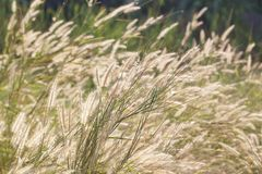 Grass flower in field in sunshine for abstract background Royalty Free Stock Images