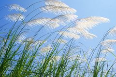 Grass flower. Grass flowers are on sky background Royalty Free Stock Photo