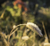 A grass. Flower found in the fields near home. I made a macro Stock Image