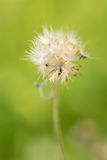 Grass Flower royalty free stock image
