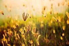 Grass flower in golden sunlight Stock Images