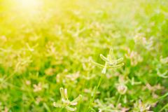 Grass flower in grass filed royalty free stock photography