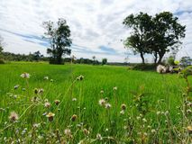 Grass flower in green farm stock images