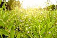 Grass and flower. Group of grass flowers with sunlght shining through them royalty free stock images