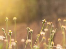 Free Grass Flower In Nature Feild With Soft Orange Color Filter Made Feeling Warm In The Sunshine Day. Royalty Free Stock Images - 75197559