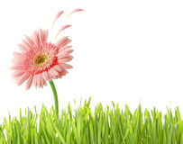 Grass and flower isolated Stock Photo