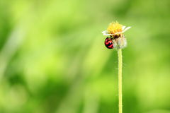 Grass flower and little ladybug Stock Image