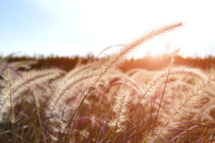 Grass flower or meadow in the field. Grass flower or meadow in the field with outdoor sunset lighting Royalty Free Stock Image