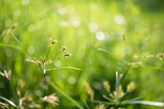 Grass flower in meadow with green bokeh. Sunrise soft focus background. Summer greenery concept with copy space for text stock photo