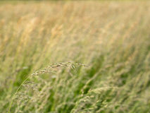 Grass Flower in a Meadow Royalty Free Stock Photo