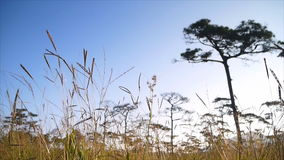 Grass Flower And Meadow With Row Of Pine Tree Against Blue Sky. On mountain at PhuSoidao national park,Thailand stock video footage