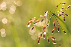 Grass flower in the morning Stock Image