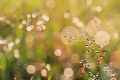 Grass flower in the morning Stock Photos