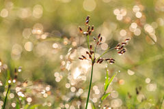 Grass flower in the morning Royalty Free Stock Photography