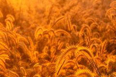 Grass flower in the morning at sunrise with golden sunshine. Flower field in rural. Orange meadow background. Wild meadow grass f stock photography