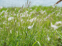 Grass flower. Natural background texture Royalty Free Stock Photos