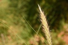 Grass Flower in natural surrounding Royalty Free Stock Photo