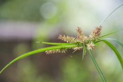 Grass flower Royalty Free Stock Photos