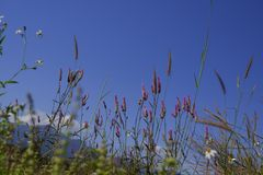 Grass flower in nature against blue sky background.  royalty free stock photos