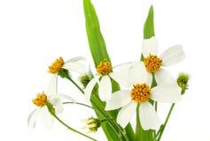 Grass flower. Stock Photos