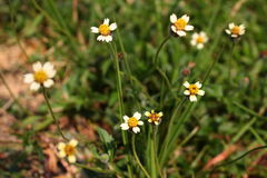 Grass flower Royalty Free Stock Images