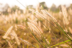 grass flower in the paddy field in morning sun rise, soft focus Royalty Free Stock Photography