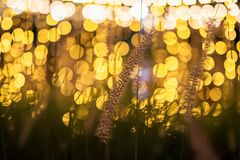 Grass flower or palea with bokeh background. Grass flower or palea with blur yellow light bulb and bokeh background. Natural decoation royalty free stock image