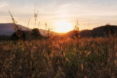 Grass flower or palea at sunset. Grass flower or palea in meadow of mountain peak or summit at sunset in Khao Yai, Korat or Nakhon Ratchasima, Thailand royalty free stock photo
