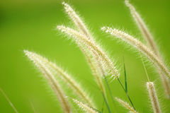Grass flower (Pennisetum) Royalty Free Stock Photo