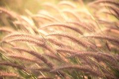 Grass flower Poaceae Stock Image