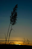 Grass flower silhouette Royalty Free Stock Photography
