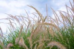 Grass flower on sky background, Thailand. Beautiful grass flower on sky background, Thailand royalty free stock photos