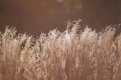 Grass Flower before the sun is getting set background Royalty Free Stock Photos
